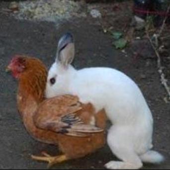 BunnyHumpingChicken